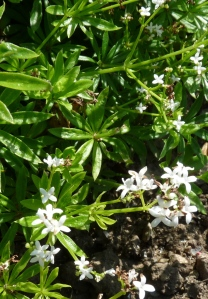 5. sweet woodruff