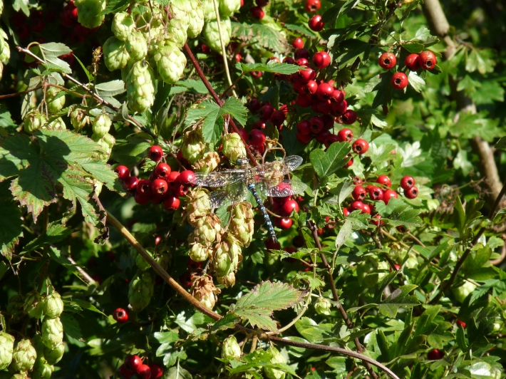 Hawthorn (Crataegus sp.) in a hedgerow with hops (Humulus lupulus)