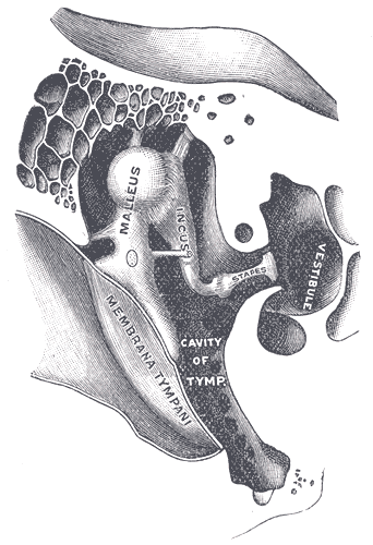 "Cross-section of the inner ear, showing the ossicles--mallelus, incus, and stapes. Illustrated by Henry Vandyke Carter for Henry Gray, ""Anatomy of the Human Body "" (Philadelphia & New York: Lea & Febiger, 1918), plate 919."