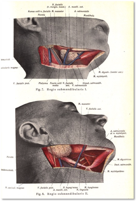 Franz Kis, Topographische-anatomische Sezierübungen, vol. 4 (Munich: J.F. Lehmanns Verlag, 1922). National Library of Medicine. A sharply silhouetted photograph, laid out on the page with a modernist graphic aesthetic. The colored, heavily retouched dissected area is the most anatomical, least photographic, part of the image. The photographic frame around the cut acts as a rhetorical guarantor: what we're looking at is real.